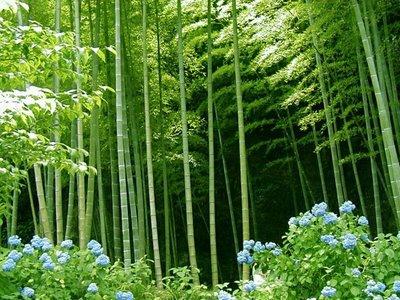 Bambusbotanik